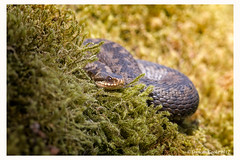 B57I5637-Adder,-Vipera-berus (duncancooke.happydayz) Tags: snakes snake adder vipera berus hay bridge reptile reptiles uk british wildlife