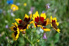 Flower in the garden (Tony_Brasier) Tags: faversham garden flowers nikon green grass bluesky weeds fun fields flickr yellow raw red farm