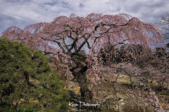 FXT23804 (kevinegng) Tags: japan aomoriprefecture hirosaki hirosakicastlepark sakura cherryblossom 日本 青森県 弘前市 弘前公園