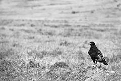 During a safari at Hell's Gate (the past tense of draw is drew) Tags: nikon d3200 18300 safari kenya lake naivasha hells gate lightroom bird animal wildlife nature monochrome black white travel