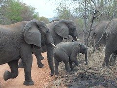group of elephants in South Africa