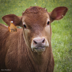 axh-20160515-9 (Xhauflaire) Tags: xhauflaire maxdavidson56 vache veau lait milk cow liège belgium