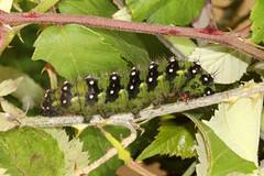 Emperor Moth - Saturnia pavonia larva (Roger Wasley) Tags: emperor moth saturnia pavonia brentwood forest caterpillar larva macro