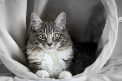 The Laundry Basket (Leanne Boulton) Tags: cat kitten portrait portraiture petportrait animalportrait pet animal kitty kitteh mainecoon ragdoll crossbreed fur furry fluff fluffy green eyes pose whiskers ears tone texture detail depthoffield bokeh naturallight indoor light shade shadow feline life living canon canon5d 5dmarkiii color colour scotland uk