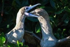 Mom Feeding the Baby (pbmultimedia5) Tags: bluefooted booby galapagos national park feeding baby chick santa cruz island ecuador wildlife nature pbmultimedia