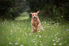 happiness (tom landretti) Tags: golden dog summer daisies field happiness goldenretriever charlie