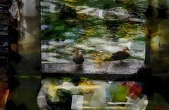 City ducks (Bamboo Barnes - Artist.Com) Tags: osaka japan ducks river reflection water vivid photo painting digitalart light shadow green yellow blue red white black grey bamboobarnes
