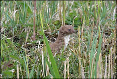 Weasel (image 3 of 3) (Full Moon Images) Tags: wicken fen nt national trust wildlife nature reserve cambridgeshire animal mammal weasel