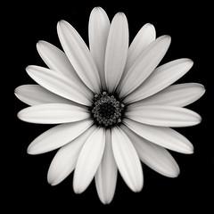 Daisy (Funchye) Tags: osteospermum nikon d610 105mm