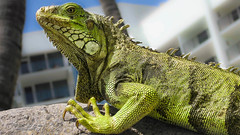The Return Of Godzilla ! (mikederrico69) Tags: lizard green reptile animal closeup trip travel summer vacation look stare aruba iguana