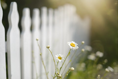 Just add Daisies... HFF (KissThePixel) Tags: fence fencefriday happyfencefriday picketfence whitepicketfence whitefence hff daisies daisy sunlight light shadow flower flowers wildflower 50mm aperture 14 f14 garden cottage cottagegarden dof dofalicious depthoffield macro bokeh softbokeh dreamy dreams nikondf sigma sigmaart