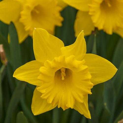 Daffodil - Hever Castle Gardens