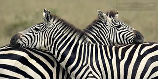 Cebras - (Plain Zebra) - Serengeti NP - Tanzania