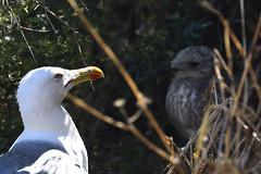 Gaviotas (Jose A. Parra) Tags: aves birds gaviotas pajaros calpe costablanca alicante sunny verano summer playa mar sea ocean beach