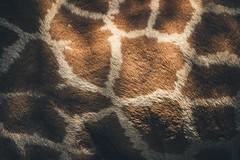 Wallpaper of giraffe (dono heneman) Tags: wallpaper papierpeint girafe giraffe animaux animal animalia vertébré vertebrata vertebra mammifère mammalia ongulé herbivore herbivorous poil hair phanère géométrie abstrait abstract lumière light nature zoo zoologie laboissièredudoré loireatlantique paysdelaloire france pentax pentaxart pentaxk3 ligne line