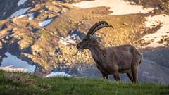 Sunset ibex (Ettore Trevisiol) Tags: ettore trevisiol nikon d7200 nikkor 18 70 d300 tokina 11 20 55 200 gran paradiso national park ibex snow grass sunset mountain