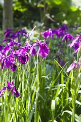 2017-06-18 Virginia Water Savill Gardens IMG_9059 (Darkstar Moody) Tags: virginiawater savillgardens plants flowers trees water ponds lakes wildlife gardens flora fauna