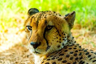 Asnaro, Male Cheetah of Yokohama Zoological Gardens : チーターのアスナロ
