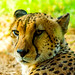 Asnaro, Male Cheetah of Yokohama Zoological Gardens : チーターのアスナロ