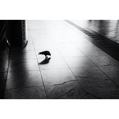 Wanderers (michaelg.1) Tags: blackandwhite fujifilm xt1 mainstation hauptbahnhof darmstadt pigeons birds