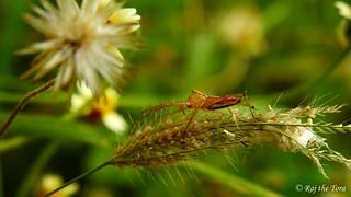Guardian of Grass Grains