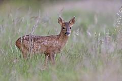 Roe Deer (Capreolus capreolus) (phil winter) Tags: roedeer capreoluscapreolus kid
