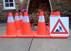 Flo Yorkie Poo and Traffic Cones (@oakhamuk) Tags: flo yorkiepoo trafficcones