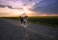 Catch of the Day (Lori Bote) Tags: dog ball dogball furry canine rescuedog bestfriend pup largedog gridroad grid sunset prairiegrid clouds sky activedog exercise landscape prairielandscape caninefun canineplay dogportrait