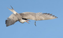 Come back here! (bmse) Tags: forsters tern bolsachica fish flipping catching fishing acrobat canon 7d2 400mm f56 l bmse salah baazizi wingsinmotion
