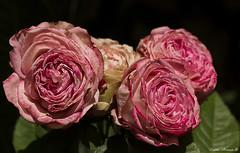 Rosas e seu encanto (marialuísaaraújo) Tags: rosas miniaturas frágeis dobradas