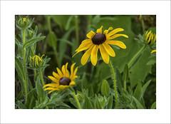 Summer Flowers (DJ Wolfman) Tags: flowers green yellow weeds wildflowers summer summerinmichigan michigan olympus olympusomd em5ii