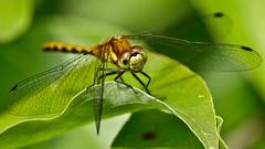 Up Close & in My Face (Bob's Digital Eye) Tags: 2017 bobsdigitaleye canon canonefs55250mmf456isstm dragonfly flicker flickr insect macro odonata t3i