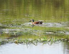 Spatula rhynchotis rhynchotis 2 (barryaceae) Tags: belmore swamp nsw australia ausbird ausbirds australasian shoveler anas rhynchotis spatula spatularhynchotisrhynchotis