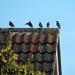 In a row (Dun.can) Tags: starling bird summer leicestershire melton sturnusvulgaris
