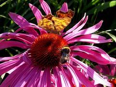 3rd Prize - Comma by Matt Peskett (BC HQ) Tags: bigbutterflycount butterflycount photographiccompetition photographic photograph competition butterflyconservation butterfly butterflies flower flowers winners comma