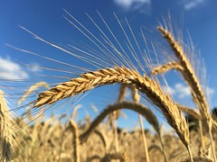 Harvest (Frank S (aka Knarfs1)) Tags: ernte harvest getreide corn feld field summer sommer