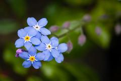 Forget-me-not (MR@tter) Tags: blumen natur vergismeinnicht forgetmenot flower flowers canonef100mm canonef100mmf28macrousm canon ef100mm f28 macro usm