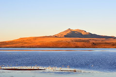 Seagulls on Farmington Bay (Great Salt Lake Images) Tags: summer morning causeway shorebirds migratorybirds californiagulls greatsaltlake utah