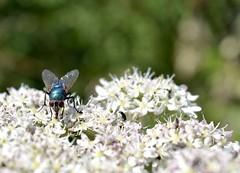 The fly...Xx (shona.2) Tags: northberwick eastlothian scotland hairy wings shiny eyes green bottlefly bluebottle