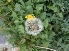 2017-06-11-9199 (vale 83) Tags: dandelion nokia n8 macrodreams friends flickrcolour colourartaward coloursplosion beautifulexpression