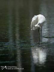 Little egret in West Looe River-14 (Neil Phillips) Tags: ardeidae aves egrettagarzetta littleegret neoaves pelecaniformes bird footed heron longlegs longneck yellow
