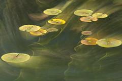 158 (robwiddowson) Tags: waterlillies plants nature botanicals robertwiddowson photo photograph photography image picture