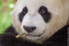 IMG_0487.jpg (wfvanvalkenburg) Tags: ouwehandsdierenpark panda familie