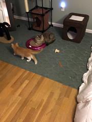 iPhone 3972 (mary2678) Tags: tewksbury massachusetts ma kitty kitten cat maine coon chele kvothe