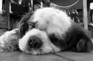 Cane dormiente