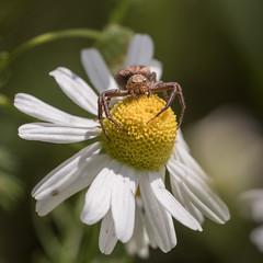 my flower (Bea Antoni) Tags: macrodreams tamron canon natur nature makro macro blume flower spinne spider