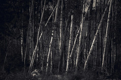 Birch Trees (Sulev Lange) Tags: birch trees woods nature forest flora green bw trunks contrast ethereal