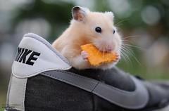 Carb Load (disgruntledbaker1) Tags: disgruntledbaker hamster animal food nike cheezit sneaker shoe