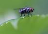 fly perch (156/365) (severalsnakes) Tags: kansas m1004macro pentax saraspaedy shawnee shawneemissionpark bug fly insect k1 raynox150
