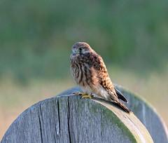 Evening Kestrel! (RiverCrouchWalker) Tags: rhs rhshydehall hydehall rettendon essex kestrel falcotinnunculus bird perching july evening summer 2017
